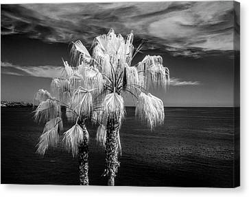 Canvas Print featuring the photograph Palm Trees At Laguna Beach In Infrared Black And White by Randall Nyhof