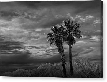 Canvas Print featuring the photograph Palm Trees By Borrego Springs In Black And White by Randall Nyhof