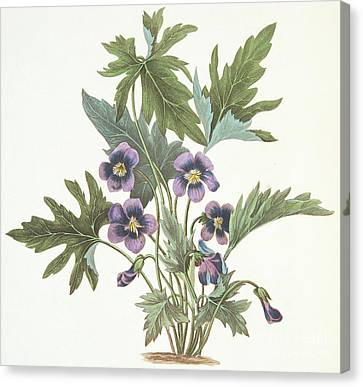 Purple Flowers Canvas Print - Palmate Leaved Violet by Margaret Roscoe