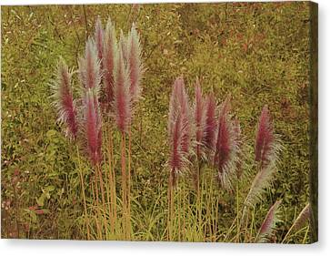 Canvas Print featuring the photograph Pampas Grass by Athala Carole Bruckner