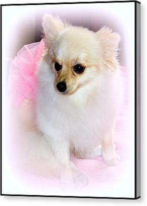Pampered Pomeranian  Canvas Print by Kathy  White