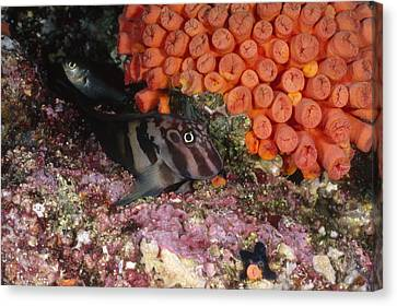 Panamic Fanged Blenny On Coral Reef Canvas Print by James Forte