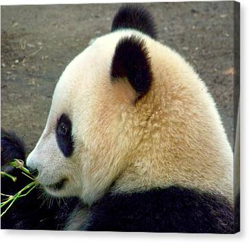 Panda Snack Canvas Print by Karen Wiles