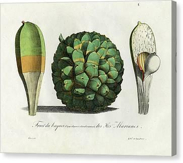 Pandanus Fruit Guam Marianas Canvas Print by Choris