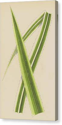 Pandanus Javanicus Variegatus Canvas Print