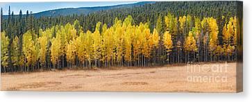 Panorama Of Aspen Grove Fall Foliage Peak To Peak Highway - Rocky Mountains Colorado State Canvas Print by Silvio Ligutti