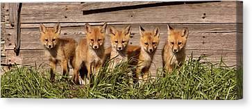 Panoramic Fox Kits Canvas Print by Mark Duffy