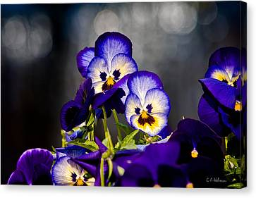 Pansies Canvas Print by Christopher Holmes