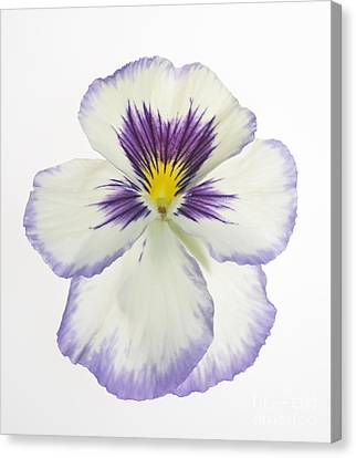 Pansy 2 Canvas Print by Tony Cordoza