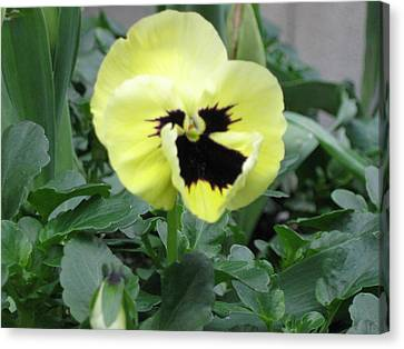 Canvas Print featuring the photograph Pansy by AJ Brown