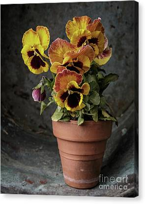 Pansy Flowers Canvas Print by Edward Fielding