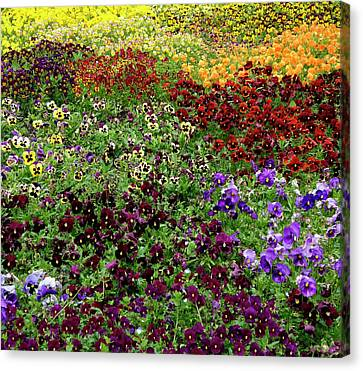 Canvas Print featuring the photograph Pansy Garden by Frank Tschakert