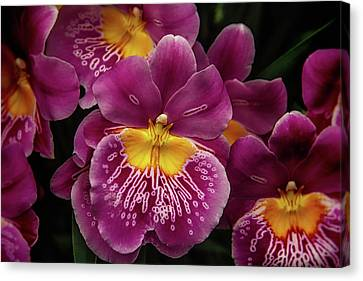 Pansy Orchid Canvas Print by Garry Gay