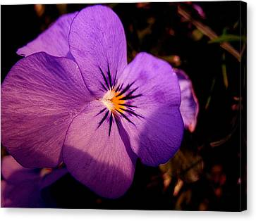 Pansy Canvas Print by Yannick Guerin
