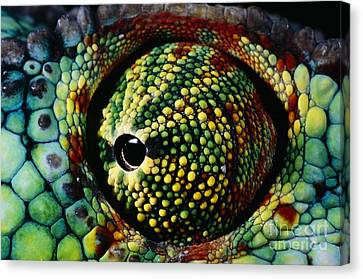 Panther Chameleon Eye Canvas Print by Daniel Heuclin and Photo Researchers