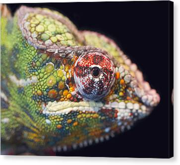 Canvas Print featuring the photograph Panther Chameleon  by Nathan Rupert