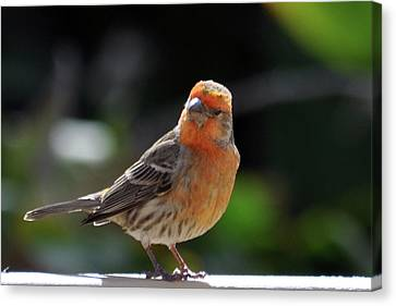 Papaya Bird Canvas Print