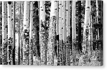 Paper Birch Canvas Print