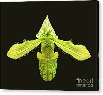 Canvas Print featuring the photograph Paphiopedilum Venustum Closeup by Susan Wiedmann