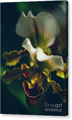 Canvas Print featuring the photograph Paphiopedilum Villosum Orchid Lady Slipper by Sharon Mau