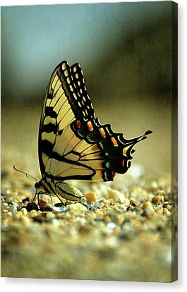 Papilio Glaucus Eastern Tiger Swallowtail Canvas Print by Rebecca Sherman