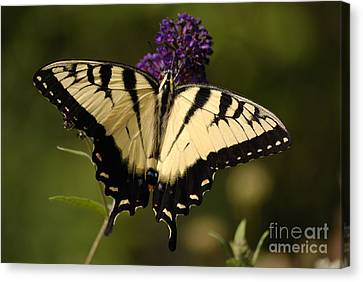 Tiger Swallowtail Canvas Print - Papilio Yellow by Randy Bodkins