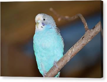 Parakeet Canvas Print by Linda Geiger