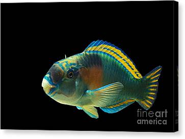 Parrot Fish Chlorurus Sordidus Canvas Print by Gerard Lacz