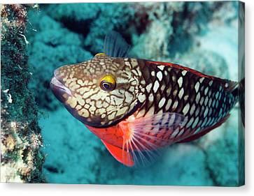 Parrotfish. Canvas Print