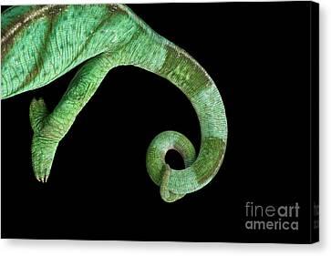 Parson Chameleon, Calumma Parsoni On Black Background, Top View Canvas Print by Sergey Taran