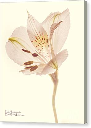 Canvas Print featuring the photograph Pasae Alstroemeria By Flower Photographer David Perry Lawrence by David Perry Lawrence