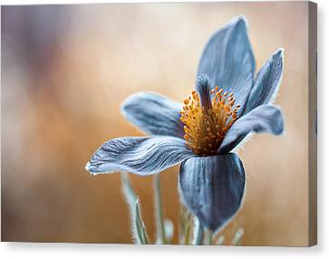 Pasque Canvas Print by Mandy Disher