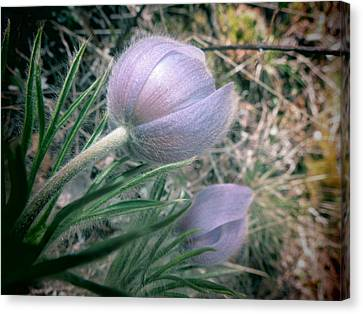 Pasqueflower Canvas Print by Leah Grunzke