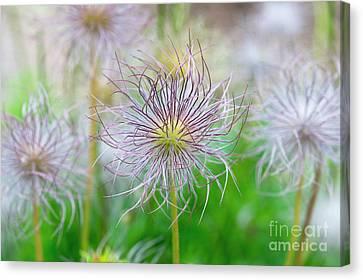 Pulsatilla Vulgaris Canvas Print -  Pasqueflower Seed Heads by Tim Gainey