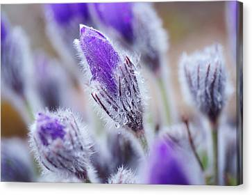 Pasqueflowers With Rain Drops Canvas Print by Jenny Rainbow
