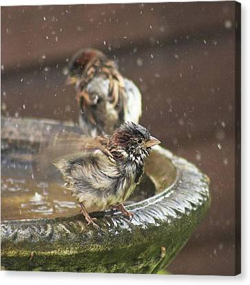 Pass The Towel Please: A House Sparrow Canvas Print by John Edwards
