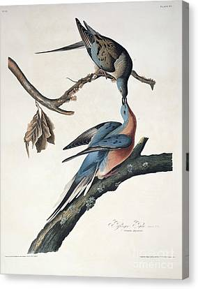 Passenger Pigeon Canvas Print by John James Audubon