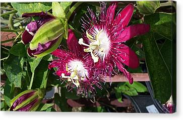 Passiflora Garden Canvas Print by Liliana C