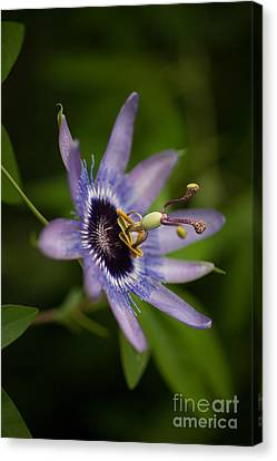 Passiflora Canvas Print - Passiflora by Mike Reid