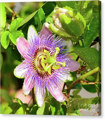 Passiflora Canvas Print by Olga Hamilton