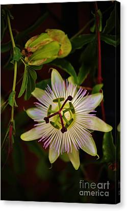 Passion Blossom Canvas Print by Craig Wood