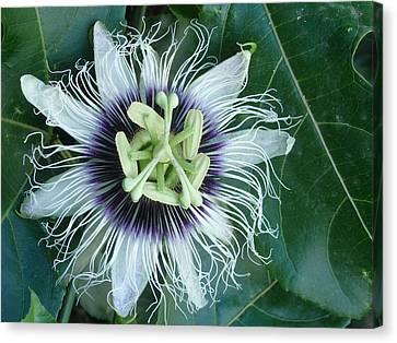 Passion Flower 2 - Passiflora Edulis Var. Flavicarpa Canvas Print by Elena Schaelike