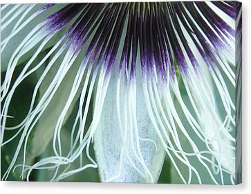 Passion Flower 3 - Passiflora Edulis Var. Flavicarpa Canvas Print by Elena Schaelike