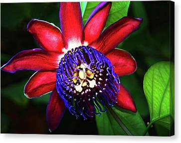 Canvas Print featuring the photograph Passion Flower by Anthony Jones