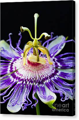 Passion Flower Canvas Print by Dawna  Moore Photography