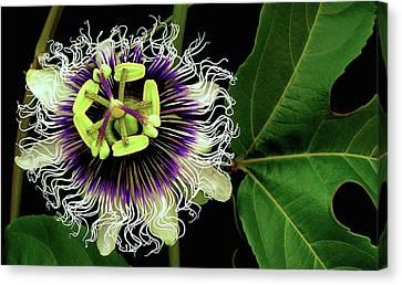 Lilikoi Canvas Print - Passion Flower by James Temple