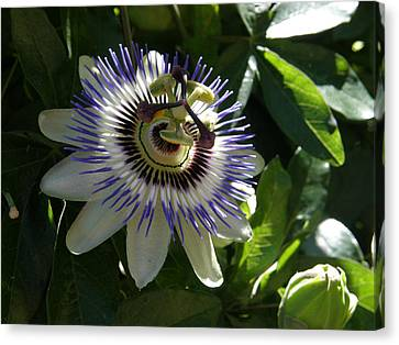Canvas Print featuring the photograph Passion Flower Photo by Judy Mercer