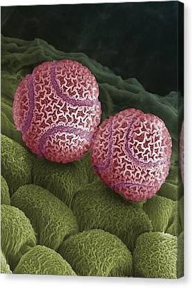 Passiflora Canvas Print - Passion Flower Pollen Sem by Steve Gschmeissner