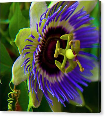Passion Fruit Canvas Print - Passion-fruit Flower by Betsy Knapp