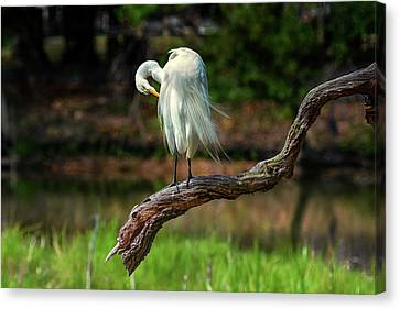 Canvas Print - Passionate About Preening by Donnie Smith